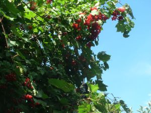 Chokecherries & Wild Grapes on the Erie Canal